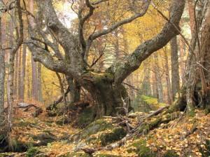 Árbol Celta