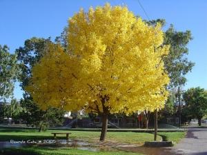 el-arbol-de-fresno-o-árbol-de-ceniza